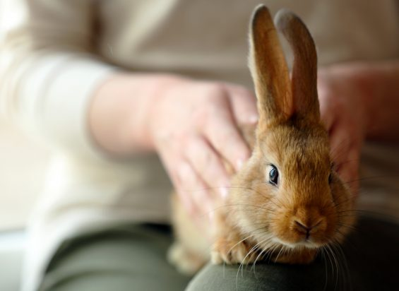 Rabbit on owners lap
