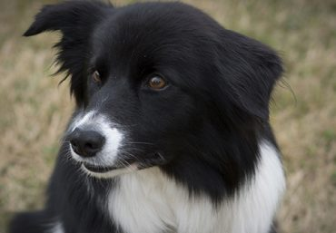 Border Collie looking alert
