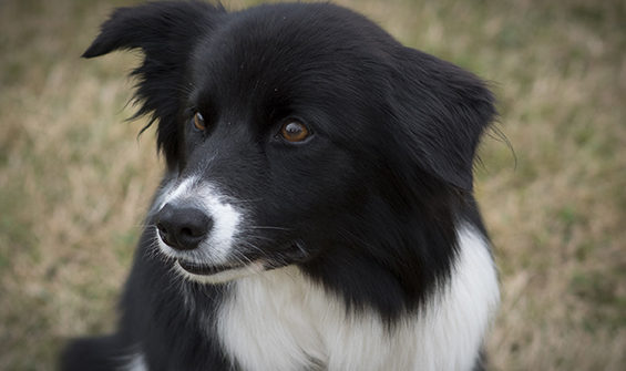 Border Collie looking alert