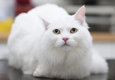 Overweight white fluffy cat